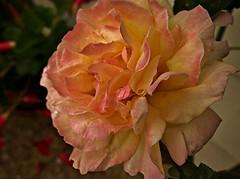 Pfingstrose - pink m.R.  , 281 (roba66) Tags: pink flores flower colour macro flora blossom flor rosa blume makro blte pfingstrose flori effe magicalbeauty flowersarebeautiful mimamorflowers roba66