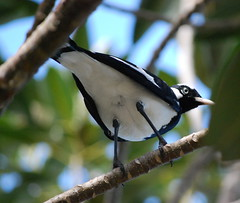 Magpie Lark (tkmckinn) Tags: birds australia july09