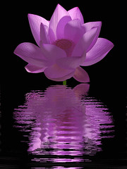 purple_Lotus_Flower - Lotus Flower animation - Animated / animation /  - IMG_0515 (Bahman Farzad) Tags: summer flower macro nature water reflections colorful waterlily lily purple lotus animation animated gif   lotusflower lotuspetal lotuspetals purplelotusflower    lotusfloweranimationanimatedgifpurplepurpleflowerreflections fleurdelotuslotosblumeyogahealingtherapysummernaturecolorfullotusflower purpleflowerreflections lotusflowerpetals lotusflowerpetal