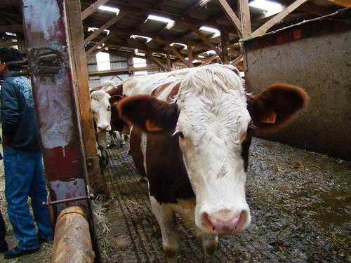 Vaca com brinco de identificação.