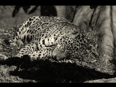 Sleeping [Nature] (m) Tags: wild bw byn nature mxico zoo df sleep felino 2010 chapultepec nikonp80 230110