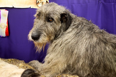 Golden Gate Kennel Club Dog Show: Irish Wolfhound