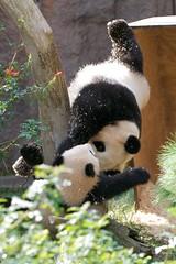 Pandas Gone Wild ! (Rita Petita) Tags: china california panda sandiego giantpanda sandiegozoo baiyun pandas pandacub yunzi