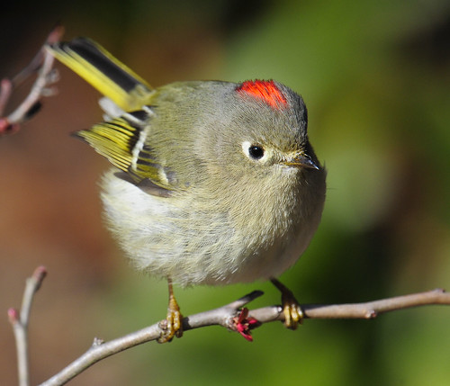 Ruby-crowned Kinglet- My Back yard- Peachtree City, GA