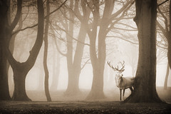 in the mist. (Chrisconphoto) Tags: trees winter mist cold stag deer sherdleypark