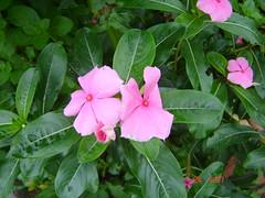 maria sem vergonha (adriella) Tags: primavera flres