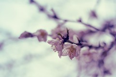 How long do I still have to wait for spring? (Fabio Sabatini) Tags: rome roma canon cherry 50mm spring dof blossom bokeh depthoffield f18 parcodegliacquedotti