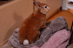 DSC_4032 (choimakko) Tags: rabbit bunny