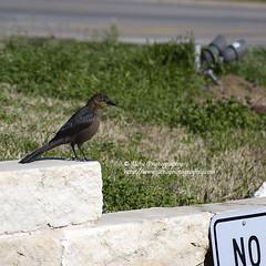 wall.black bird.no. (simis) Tags: light white black bird grass wall square bokeh gray grackle limestone fromarchives