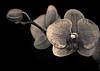 A somber orchid in sepia (alan shapiro photography) Tags: nyc flowers orchid flower exploring bloom flowering nybg 2010 blooming floer newyorkbotanicalgardens alanshapiro floering excapture momentsoftruth wonderfulworldofflowers ashapiro515 ©2010alanshapiro alanshapirophotography wwwalanwshapiroblogspotcom ©2010alanshapirophotography