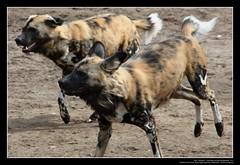 African Wild Dogs / Afrikanische Wildhunde (06) (Georg Sander) Tags: pictures wild wallpaper dog dogs zoo photo foto shot image photos shots african picture perro photograph fotos bild capture duisburg garten bilder captures africano lycaon zoologischer aufnahmen salvaje aufnahme pictus wildhunde afrikanischer wildhund afrikanische wildehond hyänenhund cynhyène gerald1311 hyänenhunde wildehonds