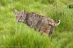 BOBCAT 12 (k.nanney) Tags: arlington cat mammal nikon texas tx d2x urbanwildlife bobcat predator wildcat lynxrufus texaswildlife tarrantcounty nikkor300mm nanney kennanney kennethnanney villagecreekdryingbeds texasmammals