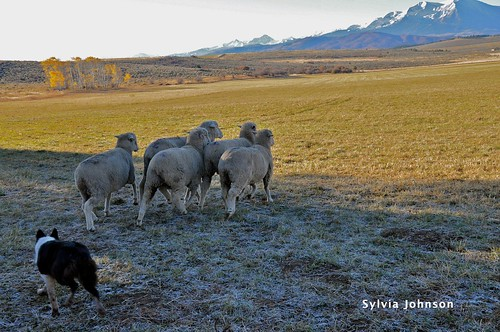 strang ranch sheep dog trials