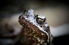 Frog (tom chandler) Tags: nature animals garden spring wildlife amphibian frog toad backgarden frogeyes slimy hibernation