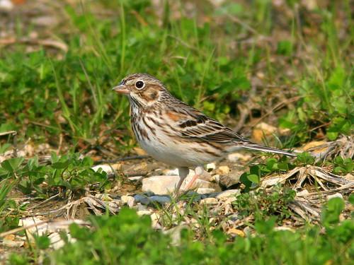Vesper Sparrow 20100410