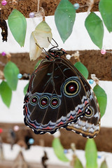 baudchon-baluchon-mindo-papillons-38