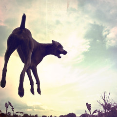 mukha in the sky! (saikiishiki) Tags: sky dog playing love clouds square fun fly flying high jump backyard play walk air weimaraner hang frizbee omoshiroi weim mukha texturebyjlsthanks silhouette~y