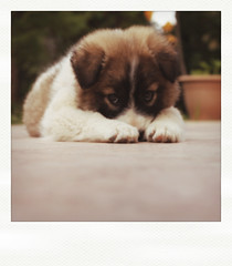 June Eighth. (redaleka) Tags: dog pet cute love animal puppy polaroid lost eyes missing sad adorable ground taylor paws juneeighth threehundredsixty