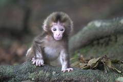 New life   (June 13,2011 Explore ) (Masashi Mochida) Tags: monkey supershot impressedbeauty natureselegantshots awajibaby
