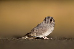 Australian Owlet-Nightjar (Callocephalon Photography) Tags: road bird night nocturnal australia headlights nsw griffith aegothelescristatus australianowletnightjar owletnightjar oolambeyannp