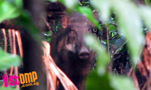 If you spot wild boars at Lower Peirce Reservoir, do not disturb them as they may attack
