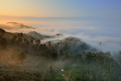 Tea field  at Mt. Dalun (Vincent_Ting) Tags: sunset sky tree misty fog clouds tea taiwan   seaofclouds     teafield       vincentting