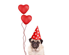 lola balloon hearts (monicaclick) Tags: animal anniversary balloons birthday card comical confetti congratulations cute design dog droll feast festive funny grumpy happy hat hearts holiday joyful love lovely party pedigree pet pretty pug puppy red romance romantic smalldog smart valentine valentinesday whitebackground