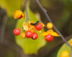 Caterpillar (rexp2) Tags: macro insect berries fallcolor caterpillar nikkormicro105mmf28 capturenx nikonspeedlightsb600 1050mmf28