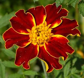 Marigold Closeup