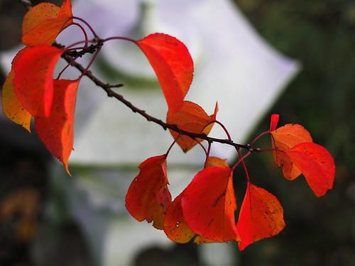 Luminous apricot leaves