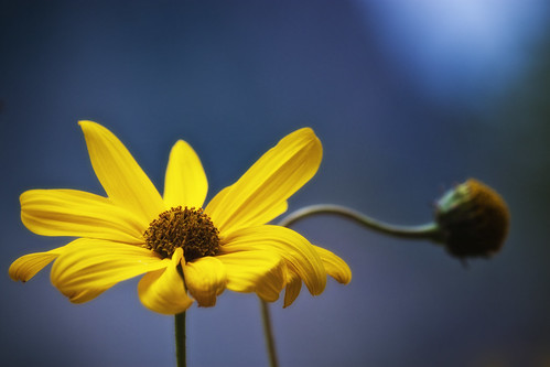 Yellow flower by Theophilos, on Flickr