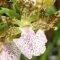 Zygopetalum Orchid