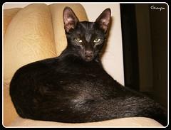Que preguia... (GilbertoMPalma) Tags: animal cat gato felino preguia sorte bichano gatopreto gilbertompalma