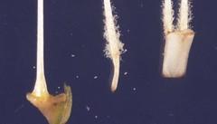 22  9366 -031018 -640 (h35312) Tags: 22  640 convolvulaceae aquatica ipomoea forsk  9366 solanales 031018