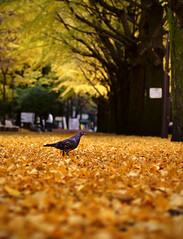 Park Pigeon Surveys Freshly Fallen Leaves (torode) Tags: park autumn bird leaves yellow japan tokyo   2009 pidgeon nerima  hikarigaoka   explored  bentorode benjamintorode