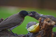 Motherly-love (Dhowayan (Abu Yara)) Tags: birds feeding instinct