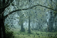 when i ventured inside (slight clutter) Tags: morning mist birds fog forest woods texas flock houston blackbirds grackles