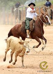 IMG_6123 (Edu Rickes) Tags: brazil horses brasil caballos cow cavalos rs riograndedosul sul tradicionalismo rodeio gaúchos beautifulshots piratini gineteada brazilianphotographers fotógrafosbrasileiros tirodelaço todososdireitosreservados fotógrafosgaúchos culturagaúcha edurickes belasimagens southofbrasil edurickesproduçõesfotográficas copyright©2010 fotografiaslegais