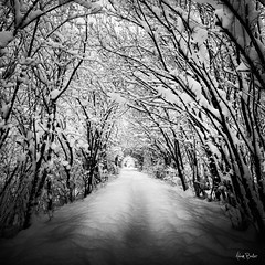 gravity ([Adam Baker]) Tags: morning trees winter light white snow ny black cold nature forest canon arch path branches fluffy cornell ithaca plantations 1740l sapsuckerwoods adambaker 5dmarkii