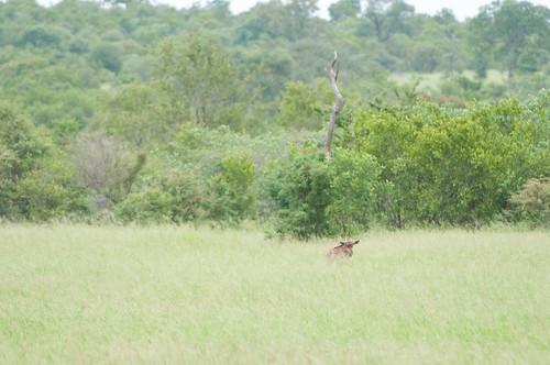Bambi Wildebeest