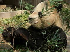 KouKou 2010/01/22 (TaoTaoPanda) Tags: panda koukou ojizoo