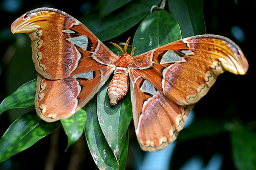 Attacus atlas-female