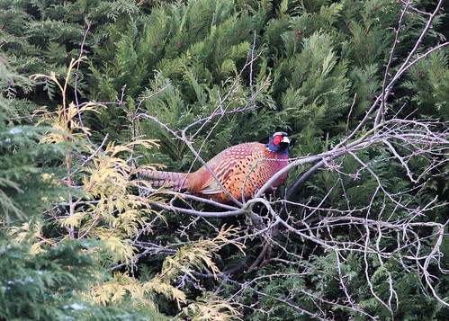 Pheasant in a Tree