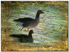 Far from home....... (Yorkshire Girl) Tags: snow texture birds geese colorphotoaward greylags miasbest