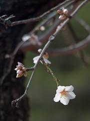 First Batch Of Flowers (rubioz) Tags: flower 50mm raw 14 flor olympus murcia processing mf montaña zuiko manualfocus lightroom unprocessed almendro almondtree e510 uro