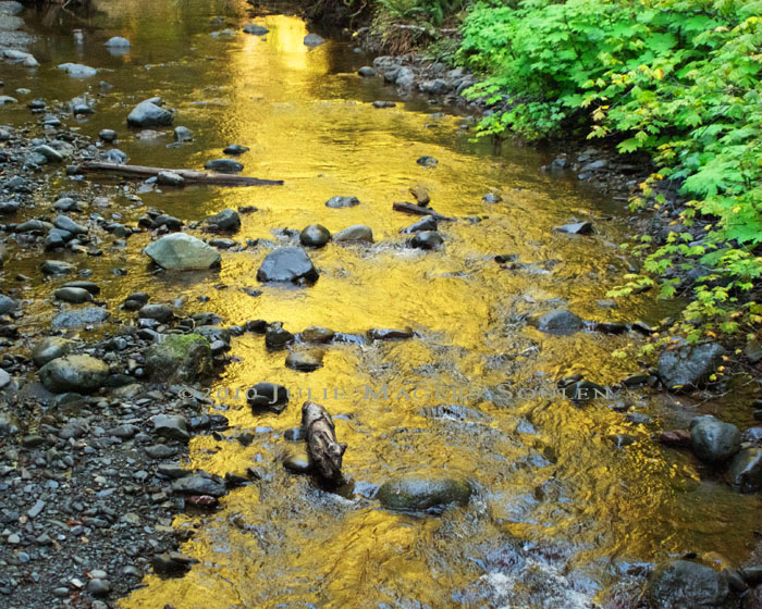 This photo of a bubbling brook in Olympic National Park was turned into a pool of shimmering gold by the setting sun.