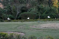 Eagrets at Sangsua tea bungalow, Assam (sensaos) Tags: india bird birds hotel asia estate tea north east plantation sahib assam northeast bungalow jorhat thee azie noord oost burra acommodation sangsua