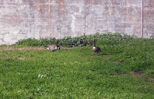Canada Geese in the Rec Yard