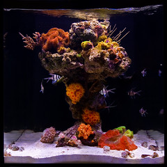 Cardinal Column (Johnny Ciotti) Tags: sun coral john aquarium cardinal led cube column reef nano aquascape aquaria ricordea ciotti ecoxotic jciotti