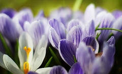 (torode) Tags: park flowers white macro green grass yellow tokyo spring dof purple sony fresh   90mm f28 lowangle a300       hiakarigaoka bentorode benjamintorode
